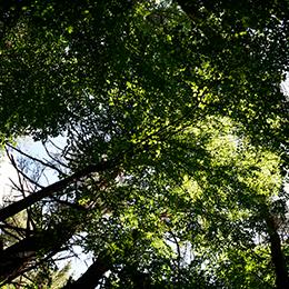 Shamrock Woods